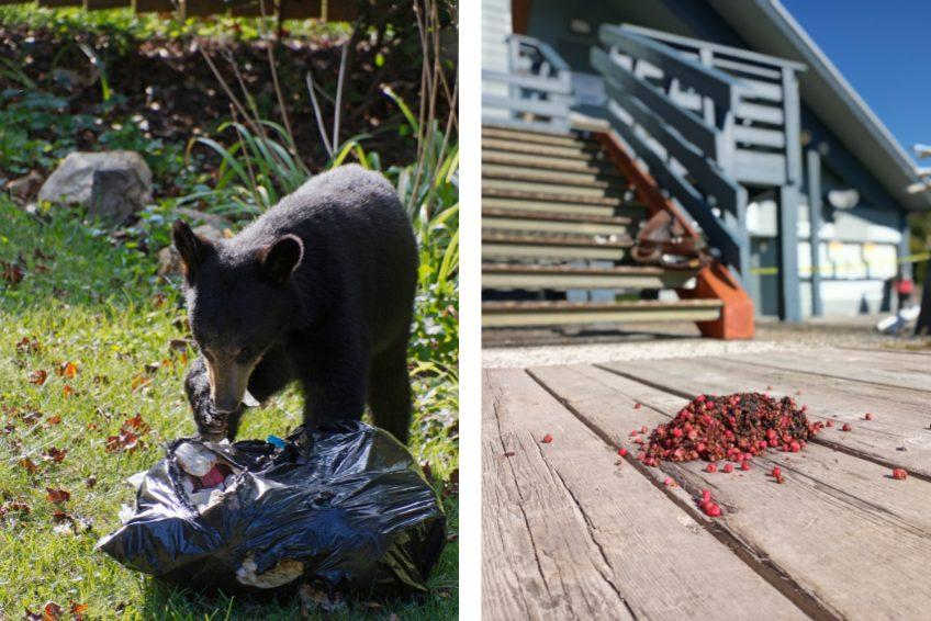 Bear Season and Waste Management at Sasquatch Mountain Resort